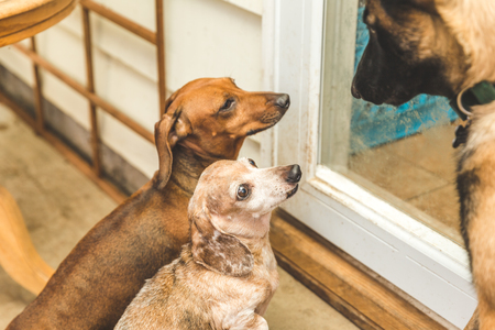 Brown, tan, and white dauchsund dogs playing.