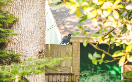 bluejay: Blue and gray bird perched on wooden fence