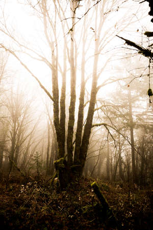 northwest: Mossy green trees in foggy Oregon forest. Winter day setting. Near Beaverton, Oregon, USA. Stock Photo