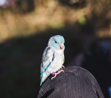 periquito: Pequeño pájaro azul y blanco encaramado en la rodilla de una persona mientras afuera. Foto de archivo