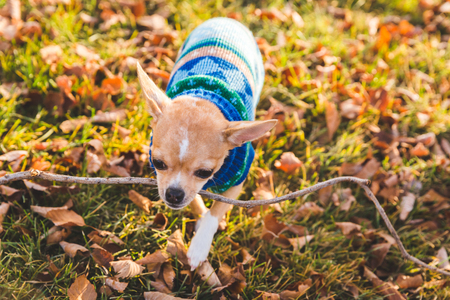 yard stick: Orange miniature chihuahua dog wearing a small blue sweater surrounded by fall leaves carrying a stick in its mouth.