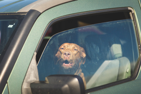 Brown pet dog sitting inside a vehicle gazing out of a window. Stock Photo