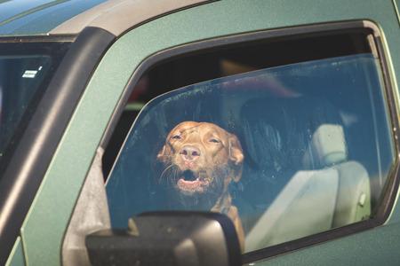 Brown pet dog sitting inside a vehicle gazing out of a window. Foto de archivo