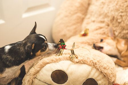 Black chihuahua dog staring at and sniffing a Christmas ornament resting on a stuffed bear leg.