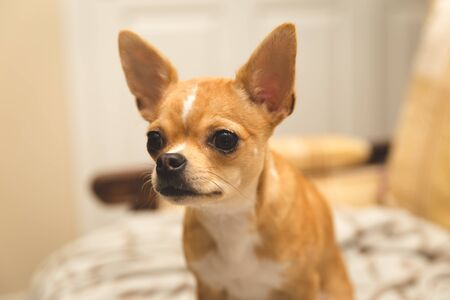 Small orange chihuahua puppy with perked ears looking straight ahead.
