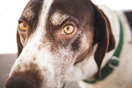 Close up of the eyes and face of a mature, male German Shorthaired Pointer