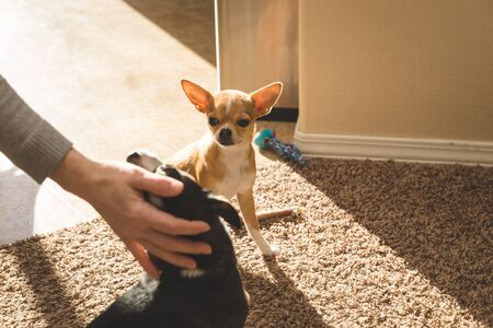 Petting mall chihuahua puppies sitting in sunlit room on carpet. Stock Photo