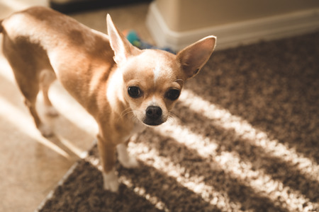 Small chihuahua puppy standing in slotted sunlight. Stock Photo