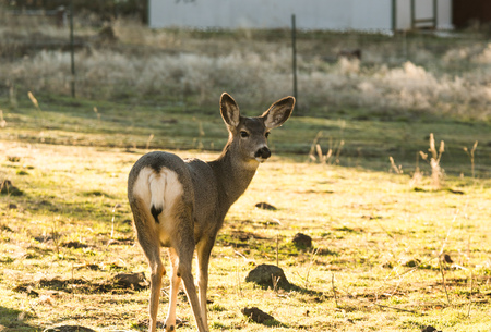 Adult female mule deer  standing in grass near a home.