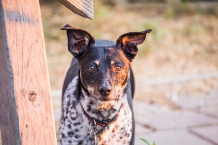 Fox terrier and rat terrier mixed-breed dog.