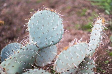 Flat cactus in a desert area.
