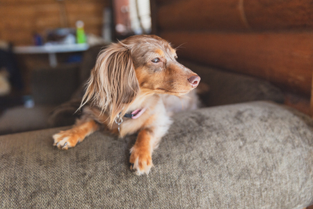 Miniature dapple dachshund with long fur sitting on a couch and looking outside. Dog is waiting for its owner. Banco de Imagens