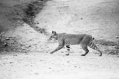 An adolescent bobcat walks across a path in the  back yard of a home in Scottsdale, Arizona. Black and white photograph.