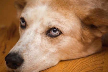 A white and brown mixed-breed dog with bright blue eyes lays on a wooden floor, looking bored. Banco de Imagens