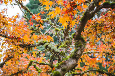 Vivid orange and yellow-colored leaves on a Japanese maple tree.