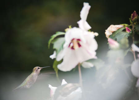 A hummingbird eats nectar from a white flower in early fall.