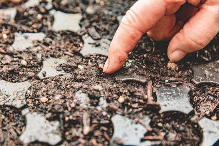 A gardener presses a seed into wet soil in a plastic gardening starter tray. Zdjęcie Seryjne