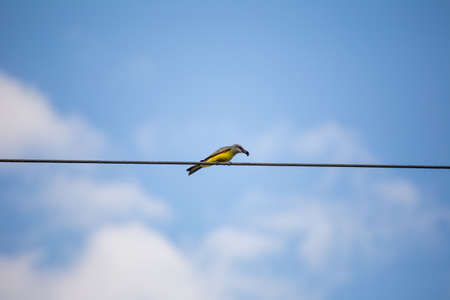 A yellow and gray bird stands perched on a electrical wire holding a bee or other insect in its mouth. Blue sky and soft clouds in background. Captured in Guatemala.