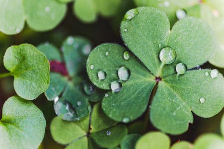 Close up of rain drops on green clovers. Dew drops, moisture, rain water on back yard plants. Zdjęcie Seryjne