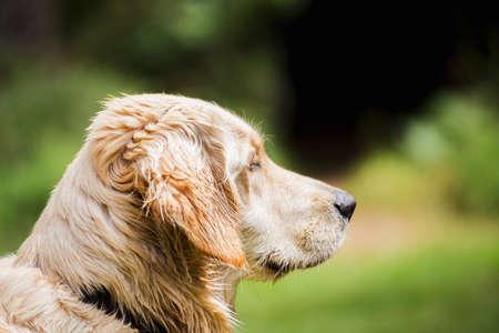 Adult retriever dog or labrador retriever looking forward. Side profile view of a labrador retriever dog.