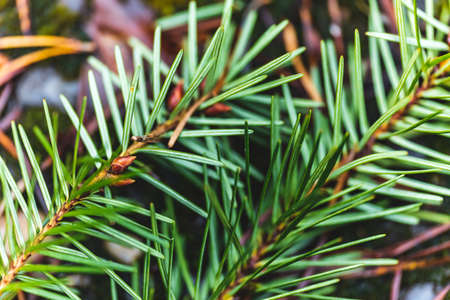 Close up of green-colored pine needles from an evergreen or coniferous tree. Macro closeup shot of pine tree branches.