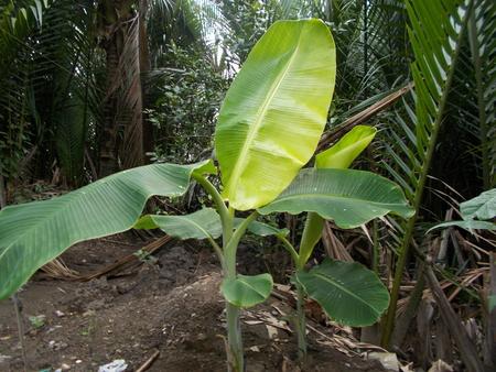 musa: banana tree Stock Photo