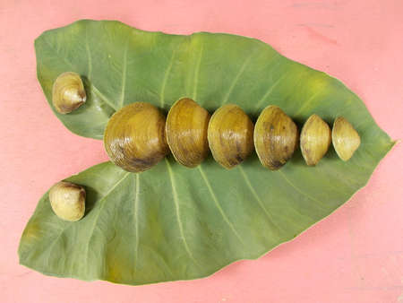 mollusca: clam