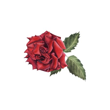 Hand Drawn Watercolor Red Rose with Bud isolated on white background. Design element for greeting card, wedding invitation, birthday, Valentine's Day, mother's day and other seasonal holidays Stock Photo - 133535994