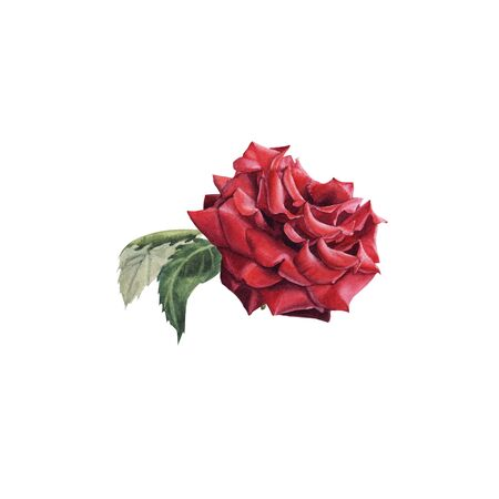 Hand Drawn Watercolor Red Rose with Bud isolated on white background. Design element for greeting card, wedding invitation, birthday, Valentines Day, mothers day and other seasonal holidays