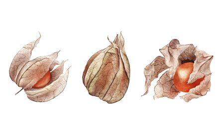 Orange dry physalis fruit berry set. Groundcherries, Inca berry, Cape gooseberry.  hand drawn painting illustration isolated on white background. element for design menu, card, food magazine Stock Photo