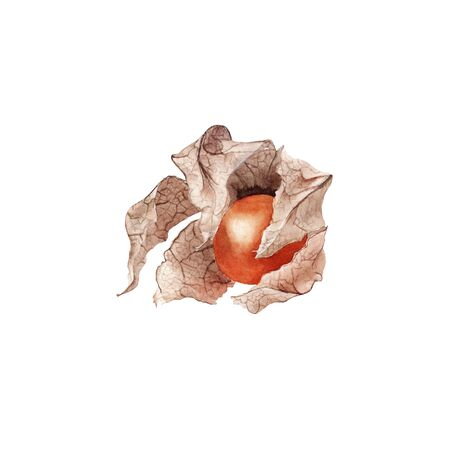 Orange dry physalis fruit berry. Groundcherries, Inca berry, Cape gooseberry.  hand drawn painting illustration isolated on white background. element for design menu, card, food magazine.