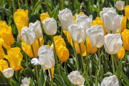 Closeup of white and yellow tulips flowers with green leaves in the park outdoor. Warm jovial spring day. Traditional dutch flower, tulip.