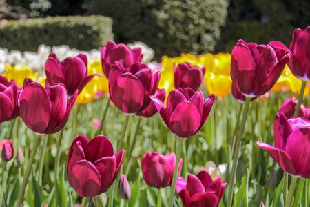Closeup of yellow and purple tulips flowers with green leaves in the park outdoor. Warm jovial spring day. Traditional dutch flower, tulip.