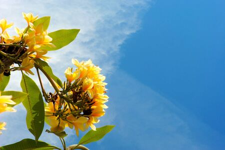 primary colours: Yellow flowers and the sky combination of two primary colours Stock Photo