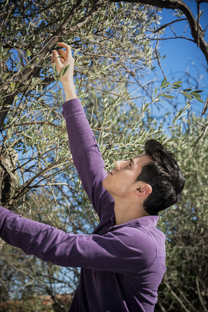 italian man: Handsome young Italian man reaching up and picking fresh olives from a tree in the orchard outdoors on a sunny day, side view
