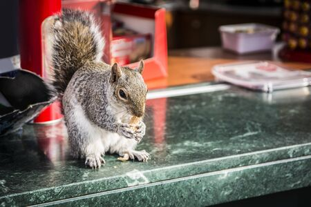 Cute little squirrel stealing nuts from outdoor bar and eating them