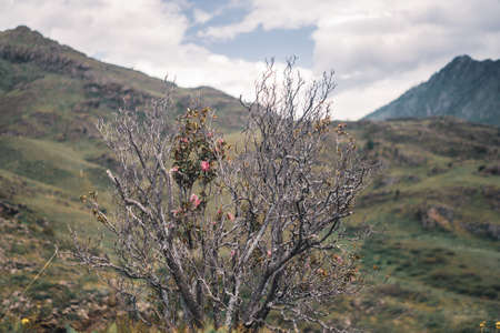 Maral bush with pink flowers against the background of mountains