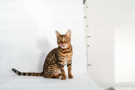 Ginger Bengal cat with green eyes sits on a white background