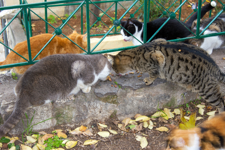 Stray cats eating together outside in winter, Athens, Greece, December 19 2017.