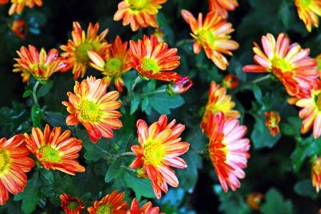 Flowers at the village of Tsagkarada. Pelio mountain, Magnesia Prefecture, Thessaly region, central Greece. Stock Photo