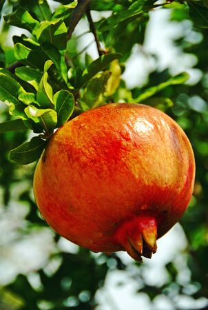 A pomegranate near Agiokampos town. Thessaly region, central Greece.
