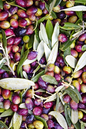 Koroneiki olives harvested in Messinia, Greece. Stock Photo