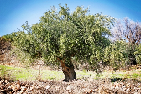 Koroneiki variety olive grove in Messinia, Greece.