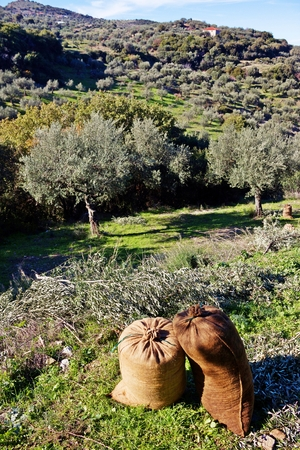 Koroneiki olives harvested into sacks in Messinia, Greece.