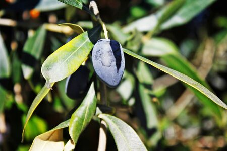 Koroneiki variety olives on olive tree in Kalamata, Messinia prefecture, Peloponnese region, Greece. Stock Photo