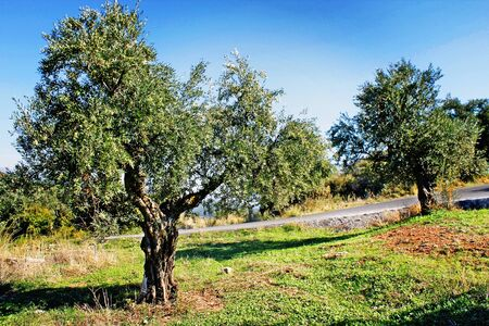Koroneiki variety olive grove in Kalamata, Messinia prefecture, Peloponnese region, Greece.