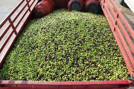 Harvested Greek olives uploaded on a truck.