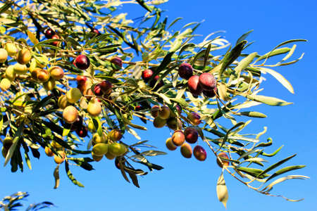Close up of olives, olive grove in the outskirts of Athens in Attica, Greece.