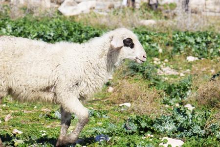 walking alone: Young sheep walking alone.