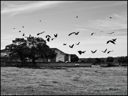 Lots of vultures flying in black on white